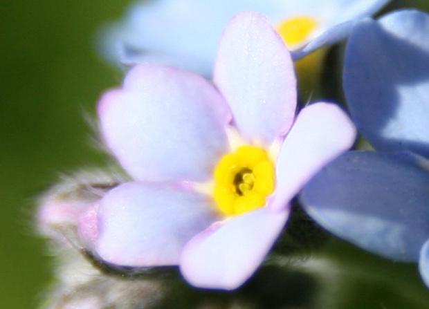 #Bralin #kwiaty #niezapominajki #wiosna