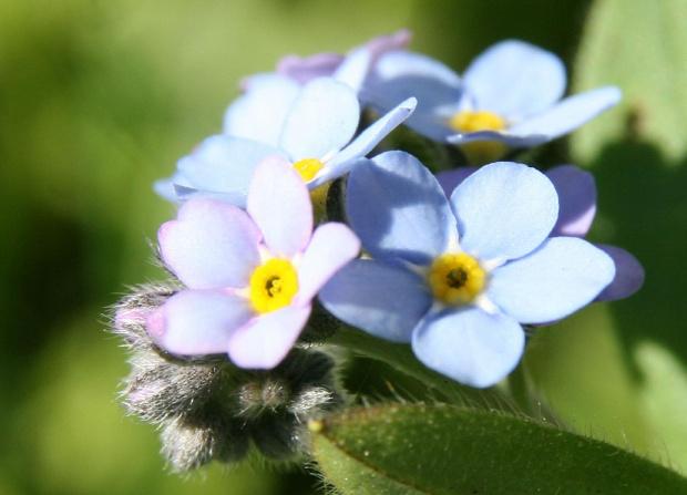 niezapominajki... #Bralin #kwiaty #niezapominajki #wiosna