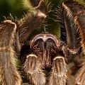 a to mój pupilek #pająk #makro #ptasznik
