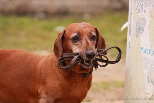 #zwierzęta #jamnik #pies #starość #przywiązanie #fauna #portret