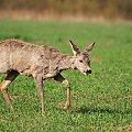 """Kwietniowe """"futrzaki"""" #sarna #kozioł #koza #pole #nikon #airking #passiv #wiosna #kwiecień"""