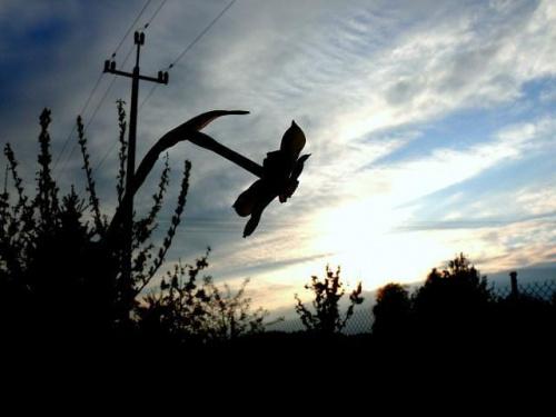 przed zachodem... #zachód #ZachódSłońca #wiosna #Wiosna2010 #żonkil