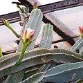 Cereus #cereus #kaktus #sukulent