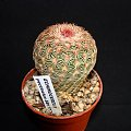 Echinocereus pectinatus #echinocereus #pectinatus #kaktus #sukulent