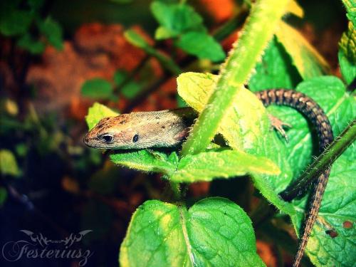 Jaszczurka Zwinka #jaszczurka #zwinka #festeriusz
