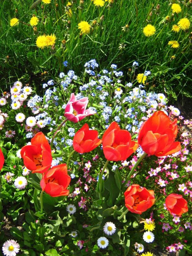 #tulipany #kwiat #wiosna #niezapominajki #stokrotki