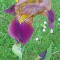 samotny Irysek #irys #kwiaty