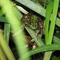 #zwierzę #płaz #zielony