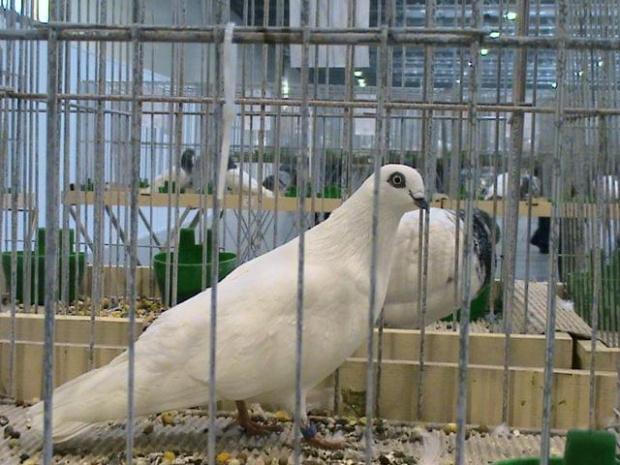 budapesztańskie wysokolotne białe czarnodziobe