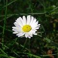 Stokrotka :-) #natura #kwiat #stokrotka