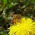 Następna pszczoła, która zbiera nektar. #mlecz #nektar #owad #pszczoła #pyłek