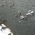 #natura #przyroda #zwierzęta #ptaki #kaczki #rzeka #zima