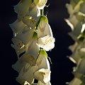 Naparstnica biała #kwiat #ogród #roślina