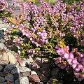 Kwiaty...z ogrodu #Kwiaty #byliny #wrzosy
