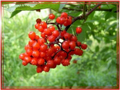 #inaczej #przeróbki #kalina #krzew #czerwone