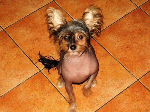 Chiński Grzywacz #psy #zwierzęta #ChińskiGrzywacz