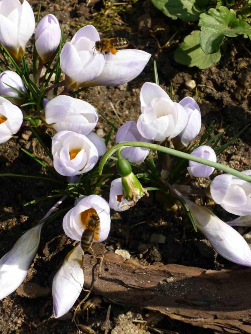 Z pierwszym dniem wiosny, pszczoły ruszyły do pracy. #ogród #wiosna #kwiaty