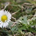 #Kwiaty #Stokrotka